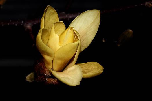 Yellow Magnolia - 2 by Robert Morin