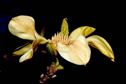Yellow Magnolia - 4 by Robert Morin