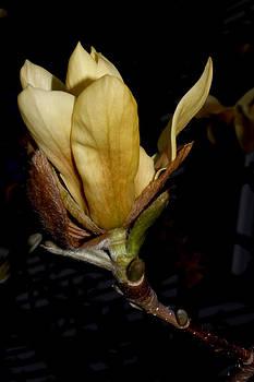 Yellow Magnolia - 6 by Robert Morin
