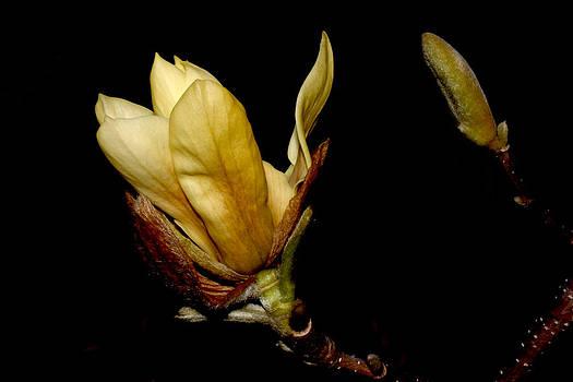 Yellow Magnolia - 7 by Robert Morin