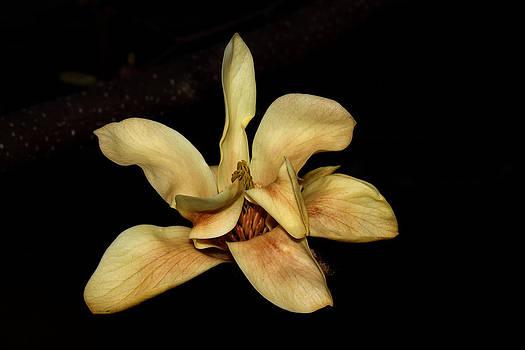 Yellow Magnolia - Going - 1 by Robert Morin