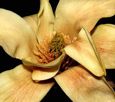 Yellow Magnolia - Going - 3 by Robert Morin