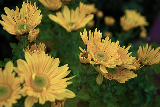 Yellow Mum by Kelly Rader