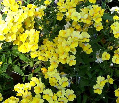 Yellow Nemesia by Susan Saver