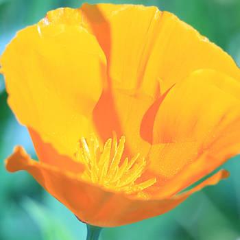 Donna Corless - Yellow Orange Poppy