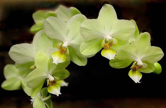 Rosanne Jordan - Yellow Orchids