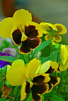 Michelle Cruz - Yellow Pansy