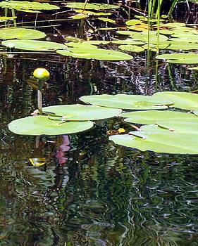 Yellow Pond Lily by Kristal Kobold