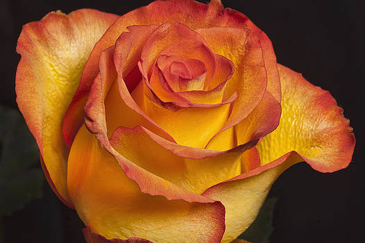 Yellow Red Rose by Christopher Brown
