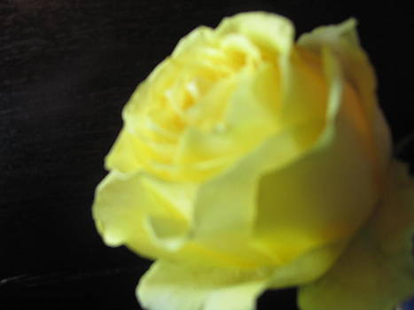 Yellow Rose by Amy Bradley