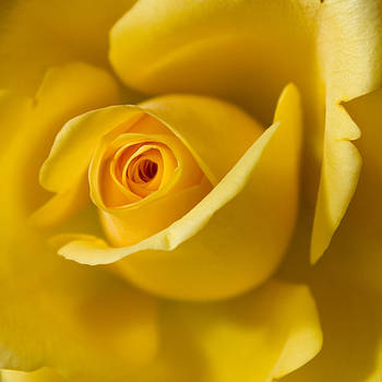 Yellow Rose by Pixie Copley