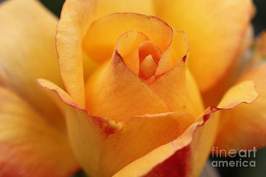 Yellow Rose by Diane Greco-Lesser