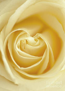 Yellow Rose by Maria Aiello