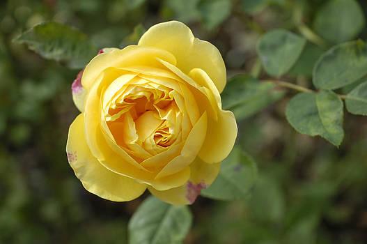 Yellow rose by Matthias Hauser