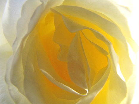 Yellow Rose by Paula  Lewis