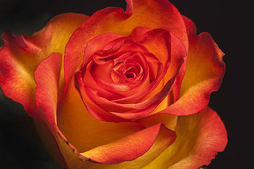 Yellow Rose Red by Christopher Brown