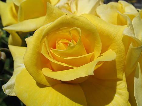 Yellow Rose by Susanna Raj