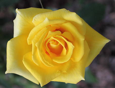 Yellow Roses of Maryland by Glenn Lawrence