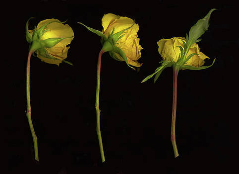 Yellow Roses by Rod Huling