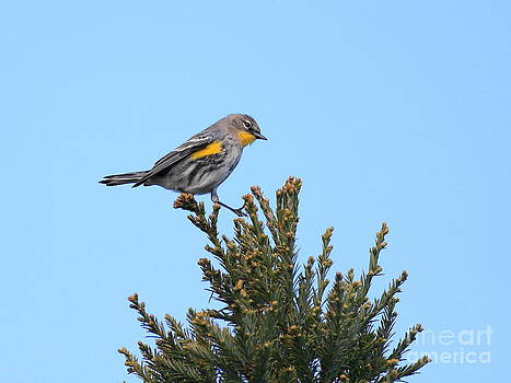 Wingsdomain Art and Photography - Yellow-Rumped Warbler Bird Perched . 40D12021
