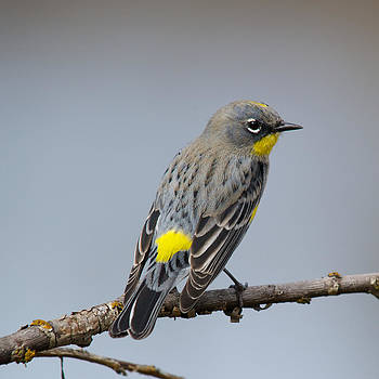 Yellow-rumped Warbler by Bob Smithing
