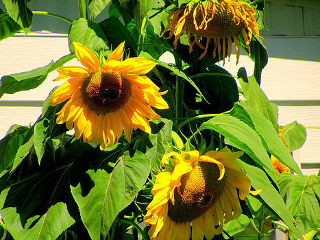 Yellow Sun Brown Centers by Amy Bradley