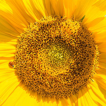 Yellow sunflower with ladybug - square format by Matthias Hauser