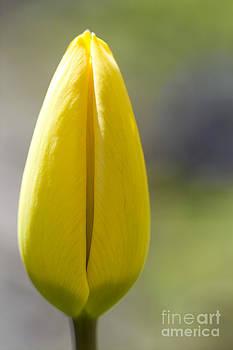 Heiko Koehrer-Wagner - Yellow Tulip Bud