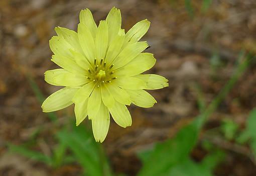 Yellow Wild Flower by Linda Pope