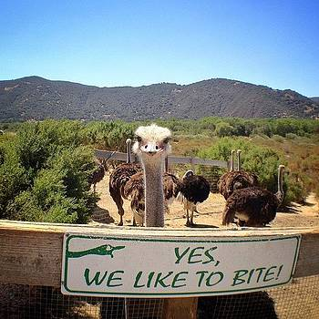 Yes We Bite? #ostrich #farm #bird by Denise Taylor