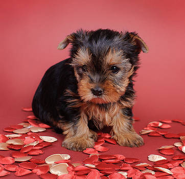 Waldek Dabrowski - Yorkshire terrier Dog puppy portrait
