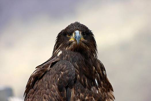 Young bald eagle by Frederic Vigne