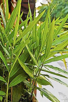 Kantilal Patel - Young bamboo path