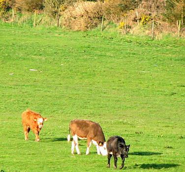 Joseph Doyle - Young bulls