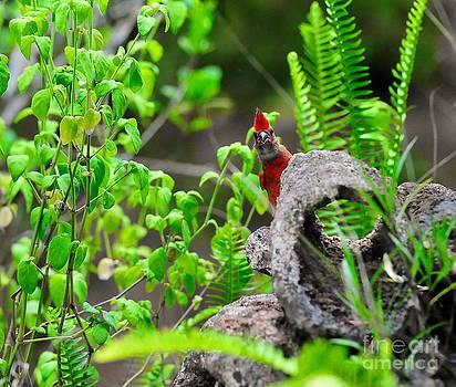 Wayne Nielsen - Young Cardinal Peeks