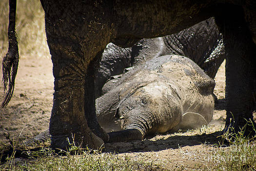 Darcy Michaelchuk - Young Elephant Resting by Mom