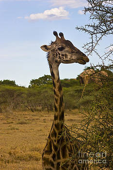 Darcy Michaelchuk - Young Giraffe Checking Us Out