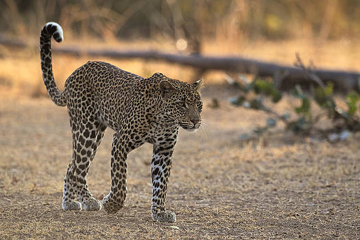 Young leopard by Johan Elzenga