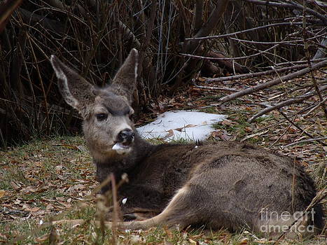 Young Mule Deer by Donna Parlow