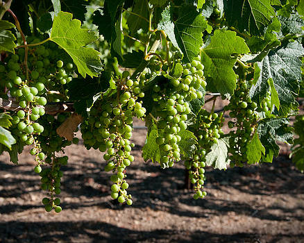 Young On The Vine by Kent Sorensen