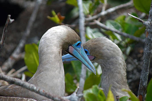 Harvey Barrison - Young Red-Footed Boobys