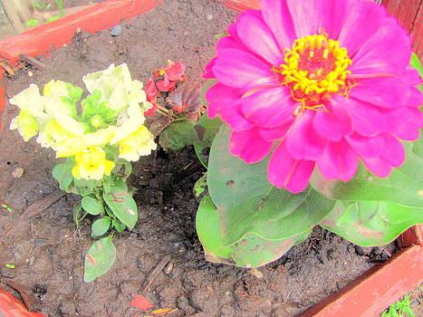 Zannia Snapdragon Begonia by Amy Bradley