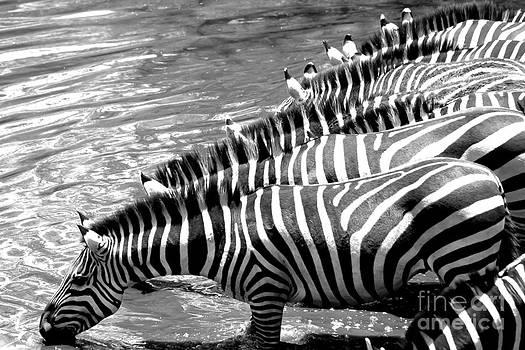 Darcy Michaelchuk - Zebra - Black or White Stripes