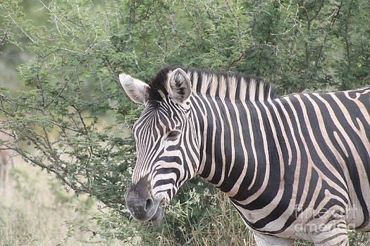 Zebra by Alexandra Bento