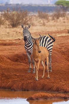 Howard Kennedy - Zebra and Hartebeest at Waterhole