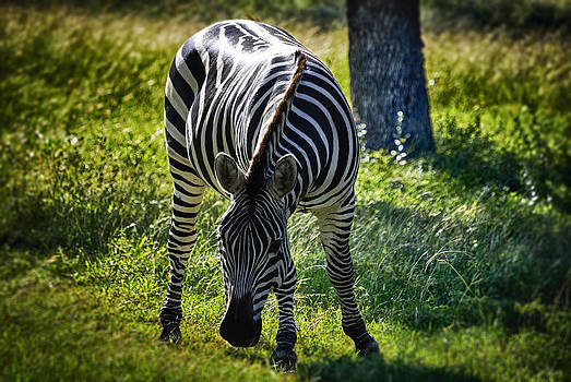 Zebra at close range by Kelly Rader