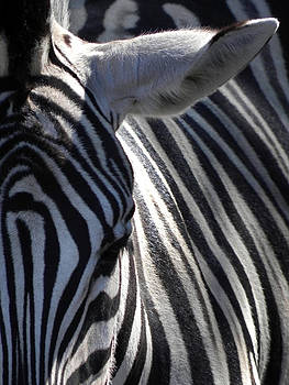 Zebra Close Up by Michael Key