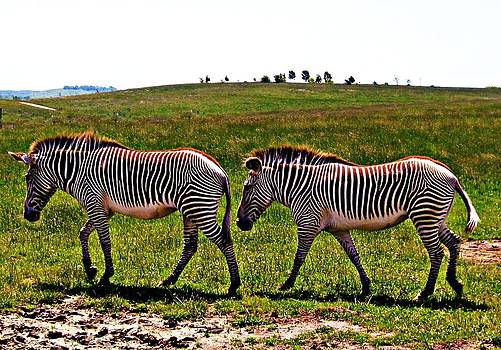 Zebra Crossing by Andrea Dale
