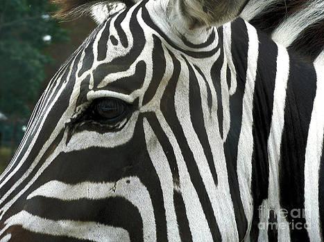 Zebra by Denise Jenks