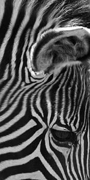 David Pringle - Zebra Eye
